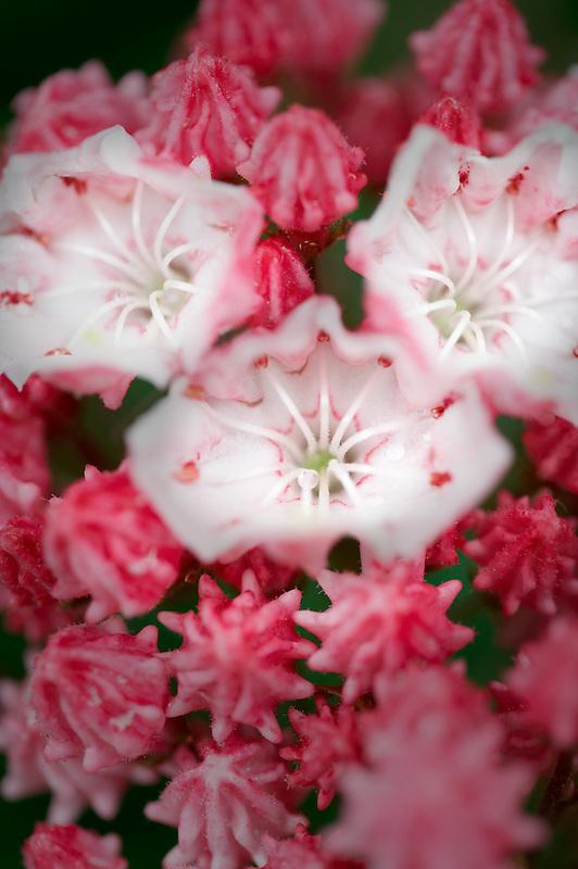Mountain Laurel (Kalmia latifolia) Olympic Fire flower. Deepwood Estates. Salem. Oregon