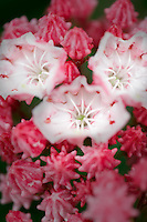Mountain Laurel (Kalmia latifolia) Olympic Fire flower. Deepwood Estates. Salem. Oregon
