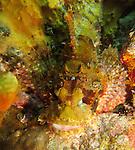 Orchid Island, Taiwan -- Camouflaged tassled scorpionfish, Scorpaenopsis oxycrphala, hidden among colorful coral.
