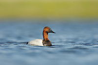 Adult male Canvasback (Aythya valisineria) on a prairie pond. Alberta, Canada. May.