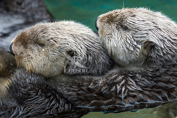 Two Sea Otters (Enhydra lutris)
