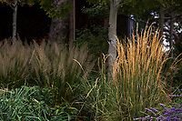 Calamagrostis x acutiflora 'Overdam' - Feather Reed Grass in Colorado prairie garden with Calamogrostis brachytricha under Aspen 'Prairie Gold'; Scripter garden, design Lauren Springer Ogden