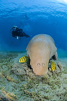 Sea Cow, Dugong dugon, Family Dugongidae, and golden trevally, Gnathodon speciosus, and scuba diver, Abu Dabab, Egypt, Red Sea, MR
