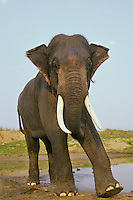 4ME13  Indian Elephant or Asian Elephant (Elephas maximus) bull.  India.