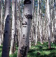 Birch trees<br />