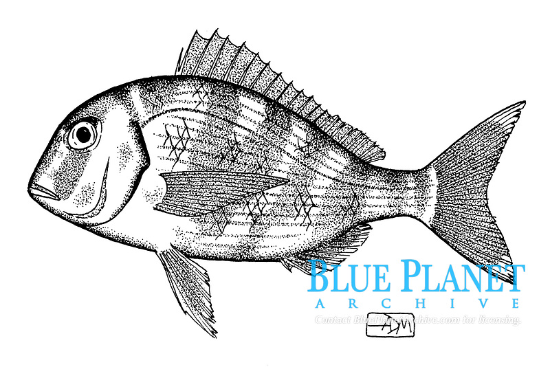 Common seabream, Pagrus pagrus, lateral view, pen and ink illustration.