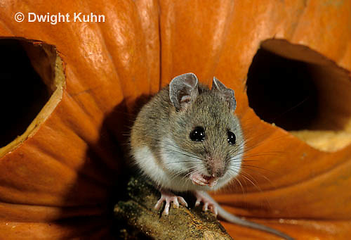MU59-023z  White-Footed Mouse - on Jack-o-lantern -  Peromyscus leucopus