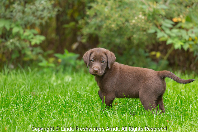 A chocolate Lab puppy covered with the morning dew in northern Wisconsin.
