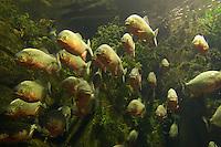 Roter Piranha, Piranja, Piranhas, Piranjas, Natterers Sägesalmler, Schwarm, Serrasalmus nattereri, Pygocentrus nattereri, Rooseveltiella nattereri, convex-headed piranha, Natterer's piranha, red piranha, red-bellied piranha