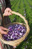 Europe/France/Midi-Pyrénées/46/Lot/Gaillac:Ramassage du Safran du Quercy à la safranière de la ferme de Didier Doucet par sa mère Raymonde  //  France, Lot, Gaillac, Didier Doucet's Farm, saffron plantation, Quercy Saffron, harvesting of Crocus sativus flowers where saffron is extracted <br />  [Non destiné à un usage publicitaire - Not intended for an advertising use]