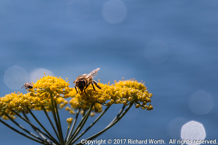 A common worker honey bee explores a Sweet Fennel flower along the shores of the MLK Regional Shoreline in Oakland, California.