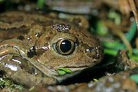 Knoflookpad (Pelobatus fuscus)