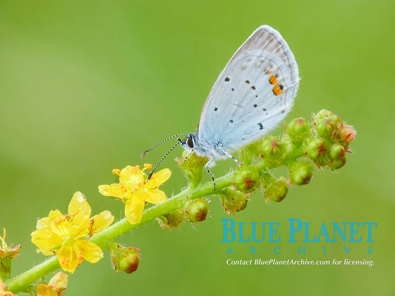 Short-tailed Blue (Everes argiades), adult male, roosting on Agrimony (Agrimonia eupatoria), with morning dew, France, Europe