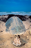 Kemp's ridley sea turtle, Lepidochelys kempii (endangered), deposits eggs into nest (opened at rear for photography) Rancho Nuevo, Mexico, Gulf of Mexico, Atlantic Ocean