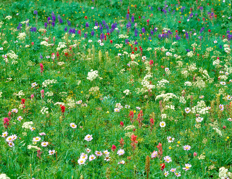 V00249>tif   Mixed wildflowers. Bird Creek Meadows, Washington