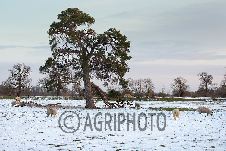 9-2-2021 Sheep in snow coved parkland<br /> ©Tim Scrivener Photographer 07850 303986<br />      ....Covering Agriculture In The UK....