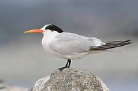Adult Elegant Tern (Sterna elegans) in non-breeding plumage. Monterey County, California. November.