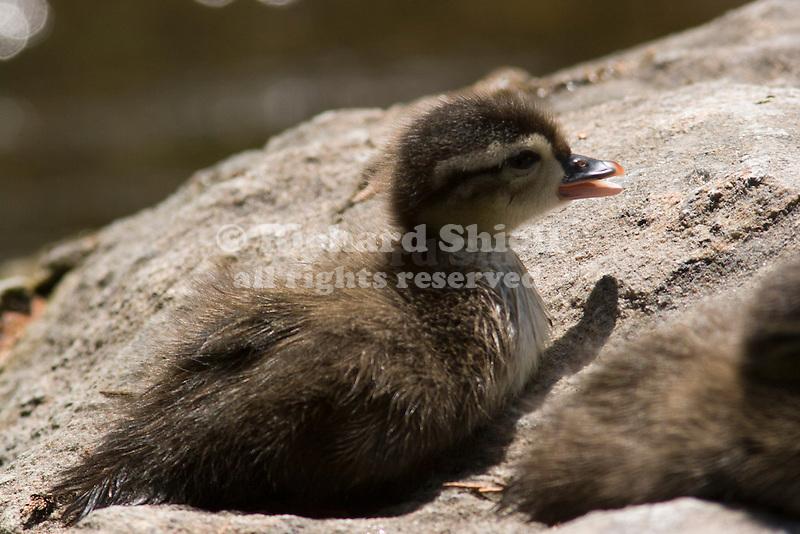 Wood Duck Chick, Aix sponsa