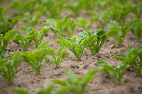 Sugar beet plants - Lincolnshire, June