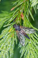 Schnepfenfliege, Männchen, Rhagio cf. conspicuus, snipefly, male, Schnepfenfliegen, Rhagionidae, snipeflies