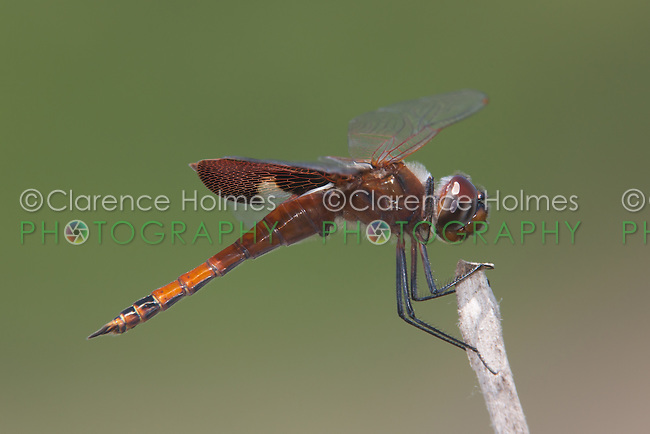 Carolina Saddlebags (Tramea carolina) Dragonfly - Juvenile Male, Lake Kissimmee State Park, Lake Wales, Florida