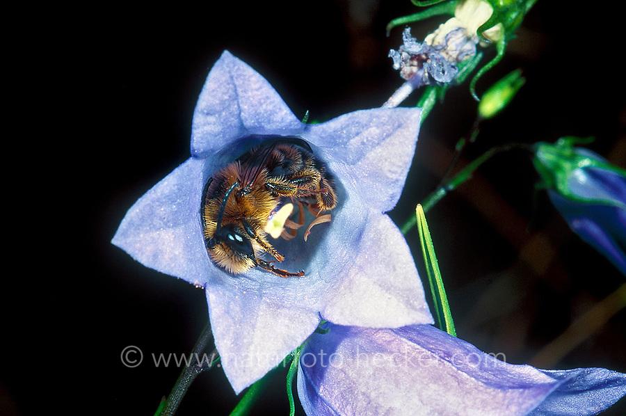 Glockenblumen-Sägehornbiene, schlafend in Glockenblume, Schlaf, Melitta haemorrhoidalis