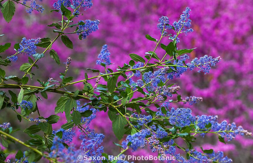 Ceanothus 'Ray Hartman' - California Wild Lilac, blue flowering native shrub, California Botanic Garden