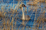 Juvenile trumpeter swan swimming in Phantom Lake at Crex Meadows Wildlife Area.