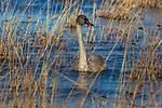 Juvenile trumpeter swan swimming in Phantom Lake at Crex Meadows Wildlife Area.