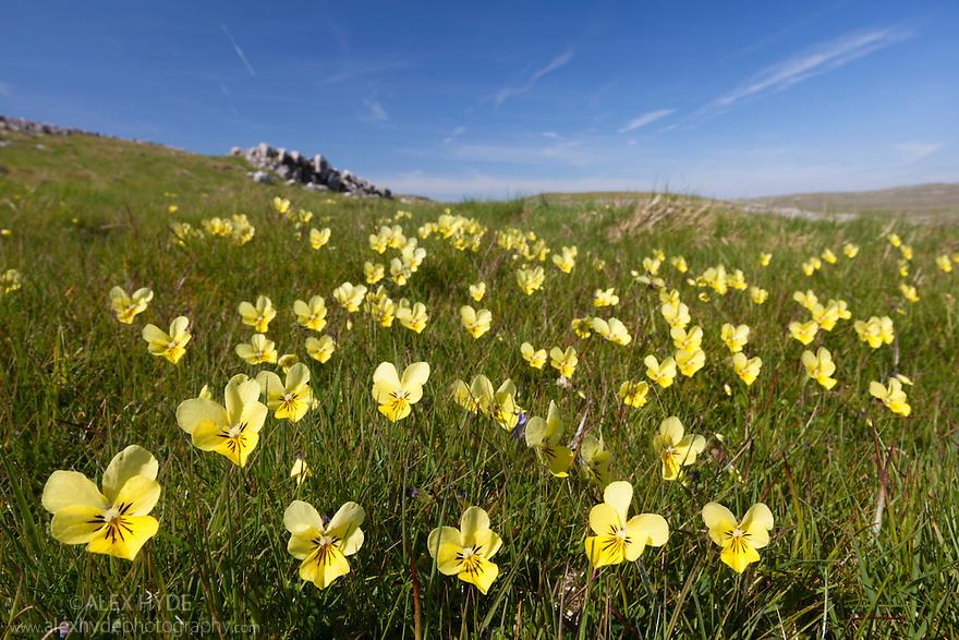 Mountain Pansy {Viola lutea}, Peak District National Park, Derbyshire, UK. April.
