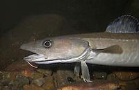 Leng, Lengfisch, Leng-Fisch, Molva molva, European ling