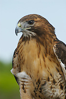 Red-tailed Hawk (Buteo jamaicensis). Mature adult, Eastern form. Red-tailed Hawks are large, conspicuous buteos which range across all of North America. There are multiple subspecies and intergrades with many variations in range and coloration. They hunt primarily mammals, from a perch or by kiting. Northern Ohio, USA.