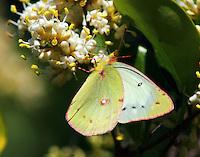 Female orange sulphur