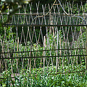 Bean poles in the kitchen garden, Pashley Manor, mid June.