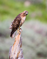 Red tail hawk, Buteo jamaicensis, Yellowstone National Park