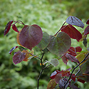 Cercis canadensis 'Forest Pansy', late May.