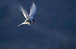 1726  Whispering Wings - Arctic Tern (Stema paradisaea) Hudson Bay, Churchill, Manitoba..#PRINT-1726.00