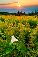 Ferns and morning glory at sunset, Beauty Spot