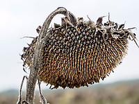 Sonnenblumenfeld bei Tomasikovo , Trnavsky kraj, Slowakei, Europa<br /> sunflower field near Tomasikovo, Trnavsky kraj, Slovakiai, Europe