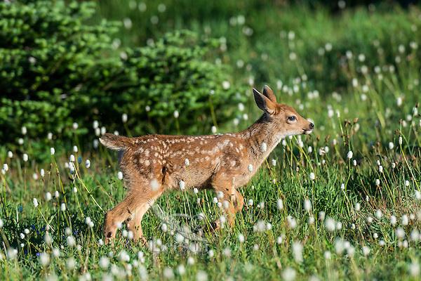 Columbian black-tailed deer (Odocoileus hemionus columbianus) fawn walking through subalpine meadow covered with American Bistort wildflowers.  Pacific Northwest.  Summer.