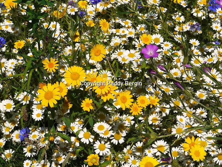 """There was a bit of a cerfuffle (also spelt kerfuffle) in the leafy avenues of Hampstead recently and it's all about this """"field"""" of wild cornfield flowers.<br /> <br /> A small area by one of the paths on the Heath had been planted up with Wild Cornfield Flowers and protected by a low fence. The photograph shows the beautiful result.<br /> <br /> The cerfuffle was caused because some friends of Hampstead Heath argued the flowers were not wild because they had been planted by the gardners.<br /> <br /> Stock Photo by Paddy Bergin"""