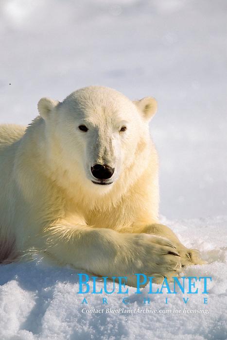Polar bear, Ursus maritimus, in summer, Spitsbergen, Svalbard, Norway, Arctic Ocean, polar bear, Ursus maritimus