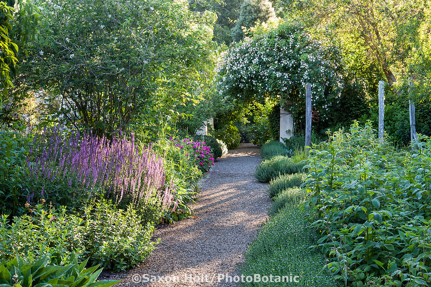 Gravel path through perennial garden in dappled light, 'Kiftsgate' rose Teucrium along path; Gary Ratway garden