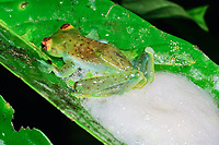 Jade Tree Frog, Rhacophorus dulitensis, female whipping up foamy mass containing fertiilzed eggs after mating, Danum Valley, Sabah, Borneo, Malaysia