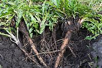 Löwenzahn-Wurzeln, Löwenzahnwurzeln, Löwenzahn-Wurzel, Löwenzahnwurzel, Wiesen-Löwenzahn, Radix Taraxaci, Taraxaci radix, Gemeiner Löwenzahn, Wurzel, Wurzeln, Wurzelstock, Pfahlwurzel, Kuhblume, Taraxacum officinale, Taraxacum sect. Ruderalia, Dandelion, root, roots, root stock, Dent de lion, Wurzel-Ernte, Wurzelernte