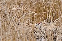 Sandhill crane (Grus canadensis) nesting among marsh reeds.  Western U.S., spring.