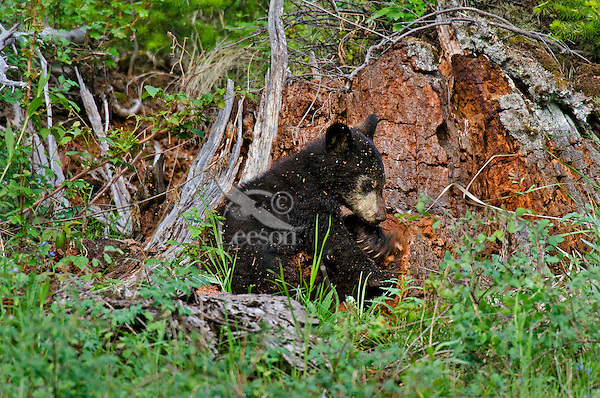 """Wild Black Bear (Ursus americanus) cub.  Western U.S., spring. (This is what is known as a """"coy""""--cub of the year.)  Playing on old stump--will be covered by wood chips before it is done--see photos #F7A4986, 4996, 4998 and 5002."""