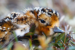 Newly hatched Spoon-billed Sandpiper chick. If it survives, within a couple of months, this young bird will migrate on its own to wintering grounds 6000km away. Chukotka, Russia. July.