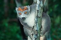 Crowned Lemur (Eulemur coronatus), female in tree, Madagascar, Africa
