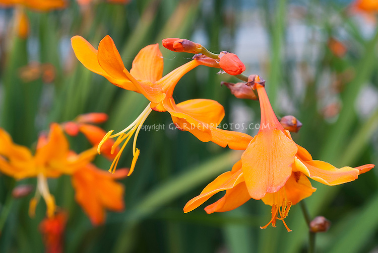 Crocosmia 'Star of the East' in orange flowers, AGM, George Davison hybrid from 1910